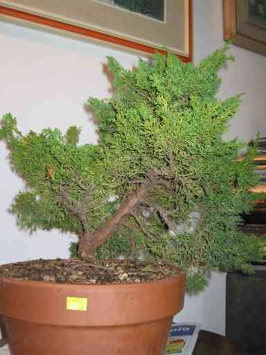 Ginepro chinensis bonsai italia for Bonsai italia