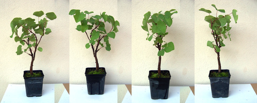 Cercis siliquastrum bonsai italia for Bonsai italia