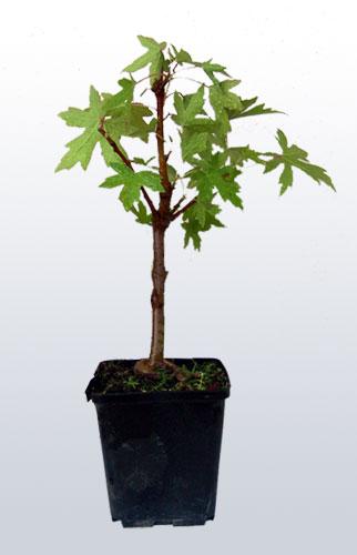 Margotta su liquidambar bonsai italia for Bonsai italia