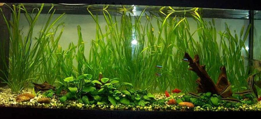 Che piante ci metto acquariforum for Piante da acquario