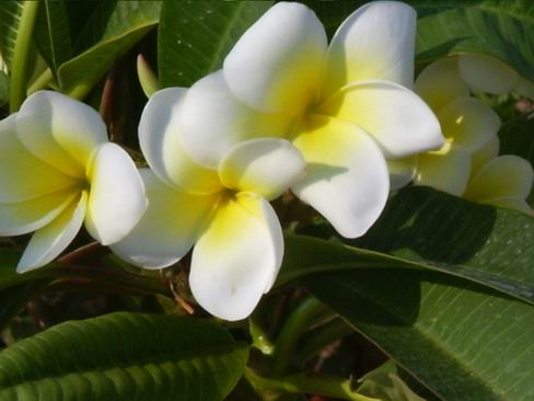 [IMG]http://img.freeforumzone.it/upload/468417_plumeria giallo-bianca.jpg[/IMG]
