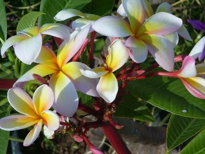 [IMG]http://img.freeforumzone.it/upload/468417_plumeria giallo-rosa.jpg[/IMG]
