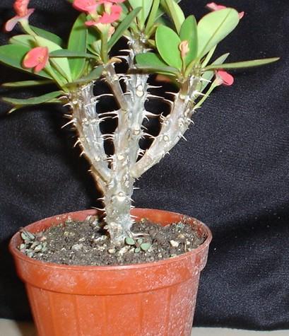 Spina di cristo bonsai italia for Bonsai italia