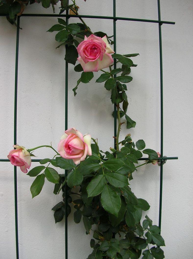 Rosa Rampicante In Vaso quale rosa rampicante, per vaso?